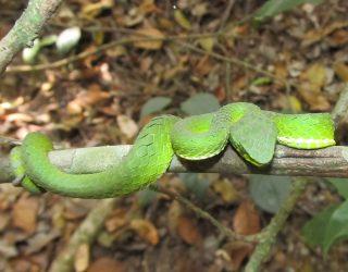 The large-scaled green pit viper, Trimeresurus macrolepis