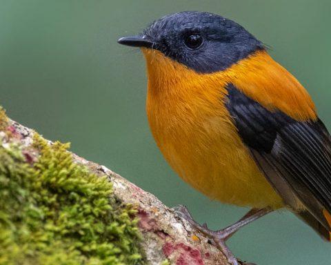 Black-and-Orange Flycatcher Male