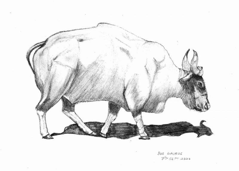 Gaur sketch