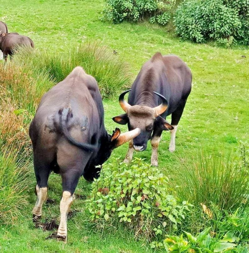 Two gaurs, locking horns